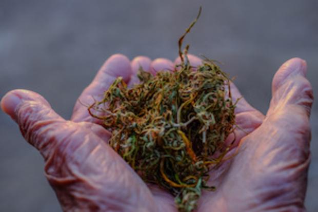 die-gruenen drogenlegalisierung cannabis